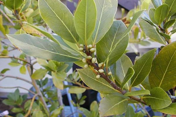 Aceite Esencial de Laurel (Laurus nobilis)