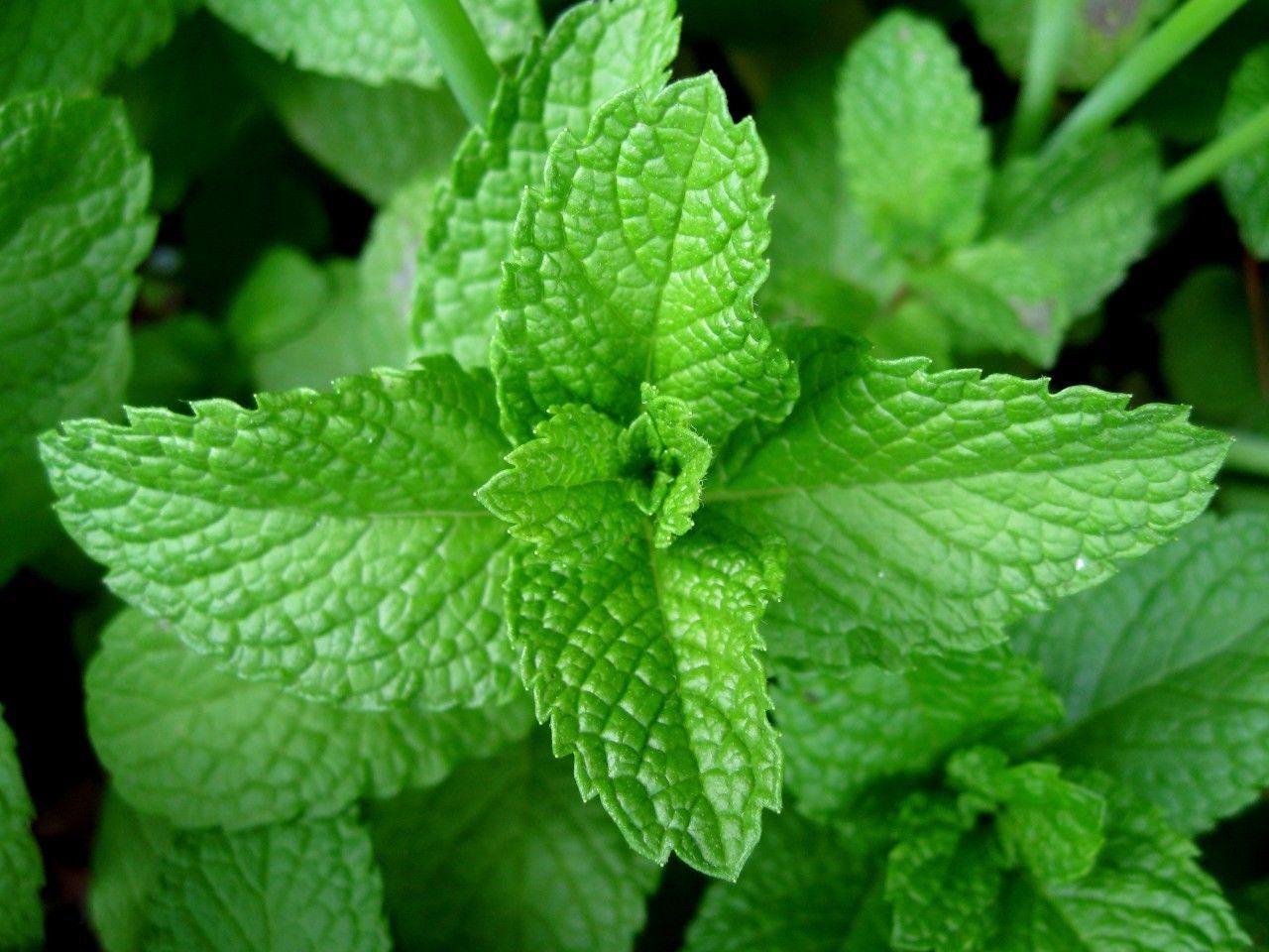 Aceite Esencial de Menta piperita (Mentha x piperita)