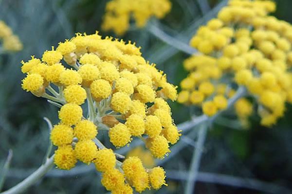 Aceite Esencial de Siempreviva  (Helichrysum italicum ssp serotinum)